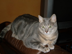 Cassie, chat Européen