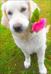 Farah, chien Golden Retriever