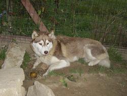 Alkkia, chien Husky sibérien