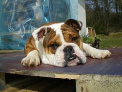 Dakota, chien Bulldog