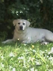 Bonjo, chien Labrador Retriever