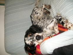 Pongo, chien Setter anglais