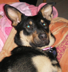 Foly, chien Beauceron
