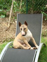 Kyzer, chien Bull Terrier