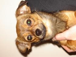 Endzo, chien Chihuahua