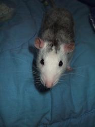 Sprite, rongeur Rat