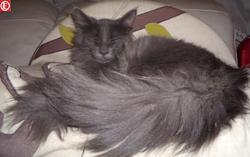 Falbala, chat Angora turc