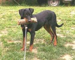 Fuertès De Vag-Ner's Mémory, chien Beauceron