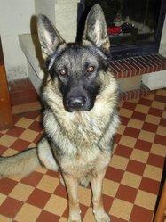 Corki, chien Berger allemand