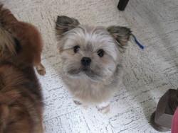 Erisse, chien Spitz allemand