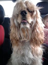 Sam, chien Cocker américain