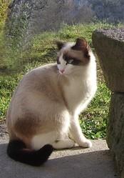 Moune, chat Siamois