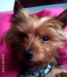 Prada, chien Yorkshire Terrier