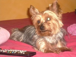 Abby, chien Yorkshire Terrier