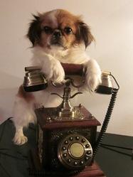 Chanel, chien Épagneul japonais