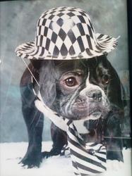 Lascko, chien Bouledogue français