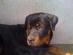 Eross, chien Rottweiler