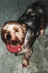 Ulla, chien Yorkshire Terrier