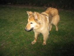 Rubis, chien Berger belge
