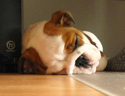 Lisbeth, chien Bulldog