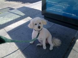 Loulou, chien Caniche