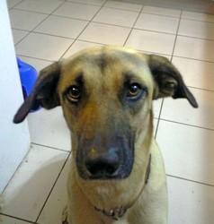 Spike, chien Berger belge