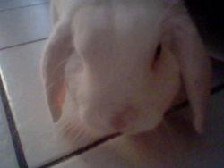 Blanco, rongeur Lapin