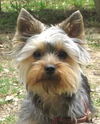 Fleur, chien Yorkshire Terrier