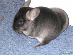 Merlin, rongeur Chinchilla