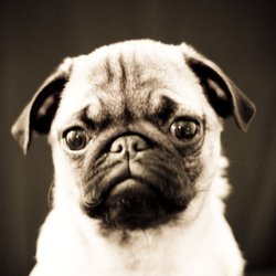 Ladygà, chien Carlin