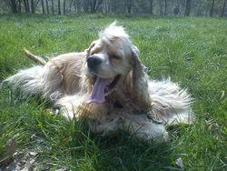 Lenny, chien Cocker américain