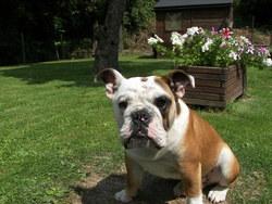 Eliot, chien Bulldog