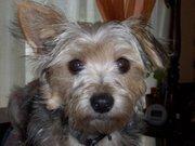 Krystal, chien Yorkshire Terrier