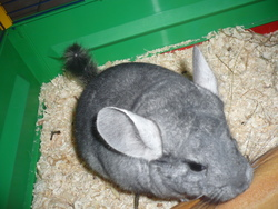 Pastille, rongeur Chinchilla