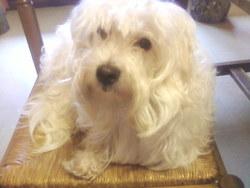 Peluche, chien Coton de Tuléar
