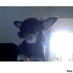 Etoile, chien Chihuahua