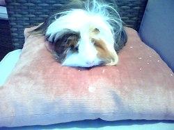 Cacahuète, rongeur Cochon d'Inde