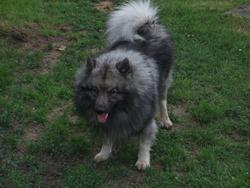 Tarok, chien Spitz allemand