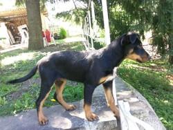 Roxie, chien Beauceron