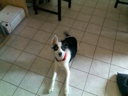 Grichka, chien Border Collie