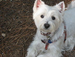Ulka85, chien West Highland White Terrier