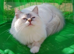 Epice, chat Birman