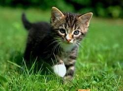Tenor, chat Gouttière