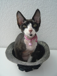 Fiona, chat Devon Rex