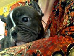 Gandhy, chien Bouledogue français