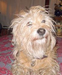 Urfie, chien Basset fauve de Bretagne