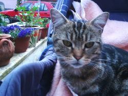 Tigrou, chat American Wirehair