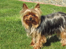 Cassie, chien Yorkshire Terrier
