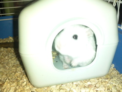Choupie, rongeur Hamster