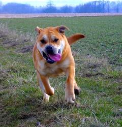Etoile, chien Dogue de Majorque